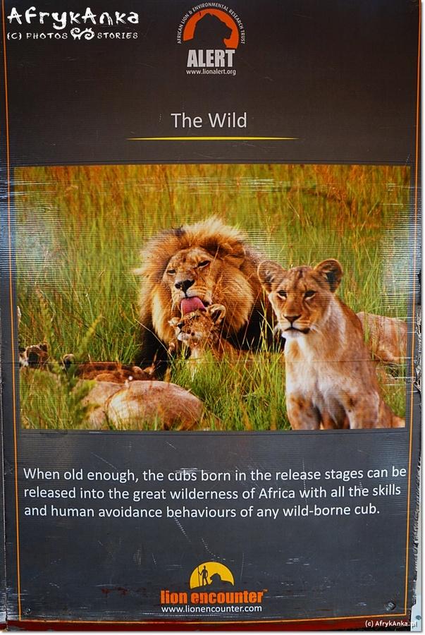 Etap Trzeci czyli na dobrych intencjach (turysty) da się zbić majątek (ale lwów od tego w naturze nie przybędzie).