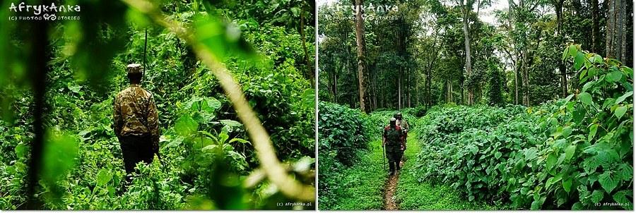 Las Biwindi - czasem droga wiedzie przez gąszcz, czasem wędruje się ścieżką.