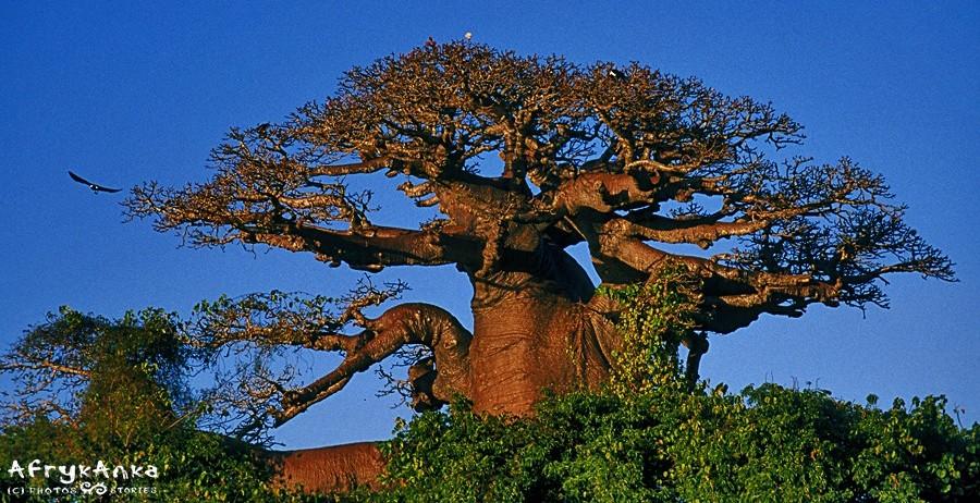 Olbrzym uważany, za święte drzewo.