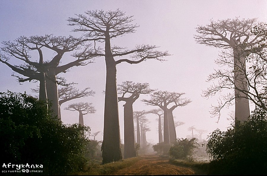 Baobaby o świcie wyglądały niczym duchy.