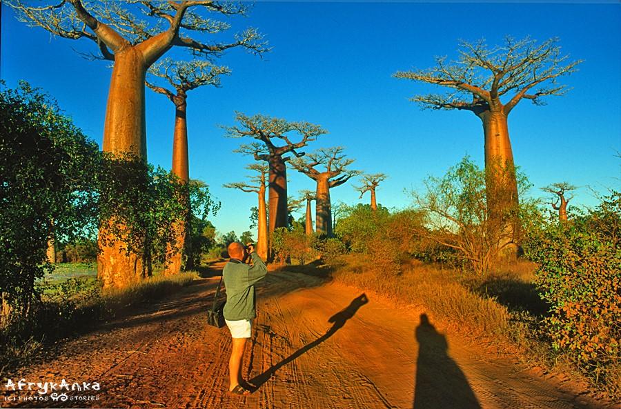 Aleja Baobabów w porannym słońcu.