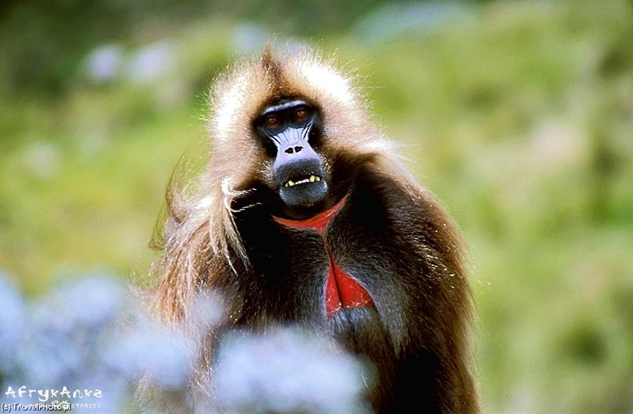Nazwa tych małp jest w pełni usprawiedliwiona!