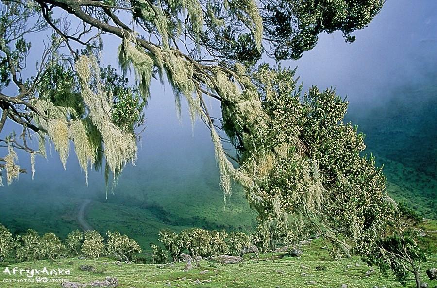 Góry Siemen - roślinne sztandary na drzewach.