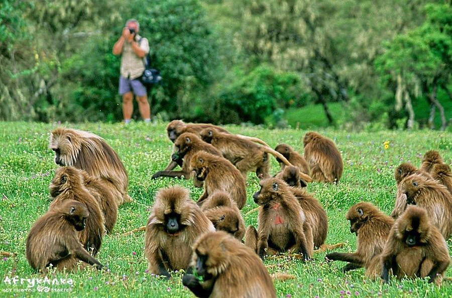 Gelady pozwalają się fotografować z całkiem bliska!