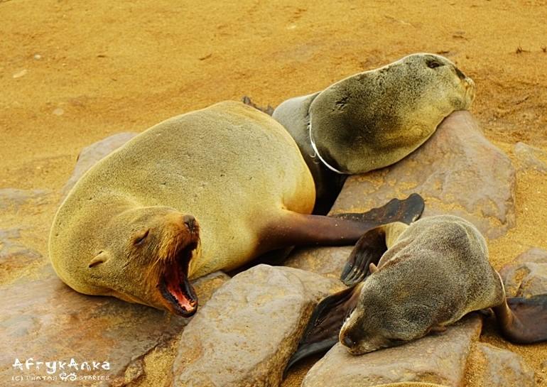 Uchatka w tle ma śmieć z plastiku wokół tułowia. To dla niej wyrok śmierci.