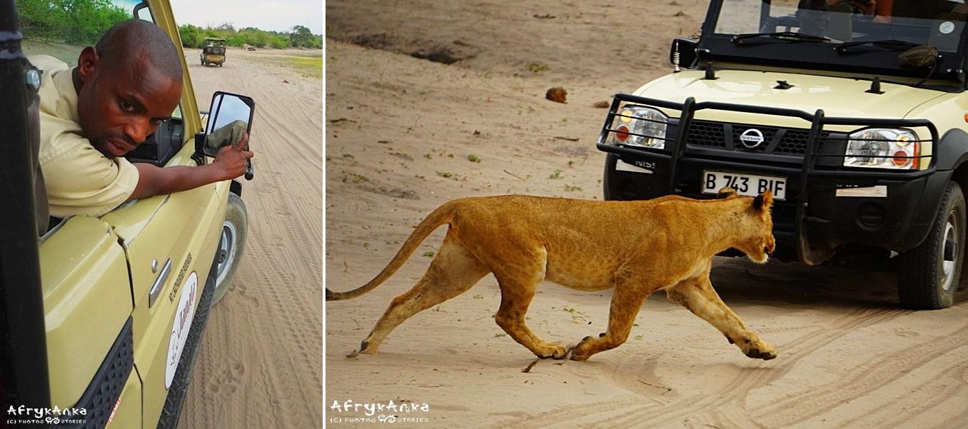 Przewodnik ogląda ślady lwów - wkrótce pojawiły się przy aucie!