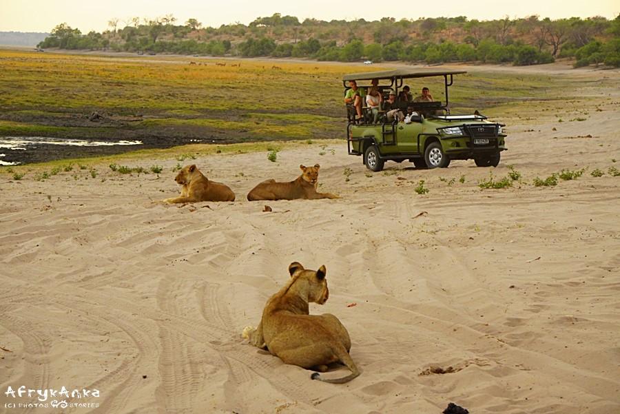 Samochód z turystami w Botswanie. Lwy nie zaatakują - chyba, że zaczniesz uciekać...