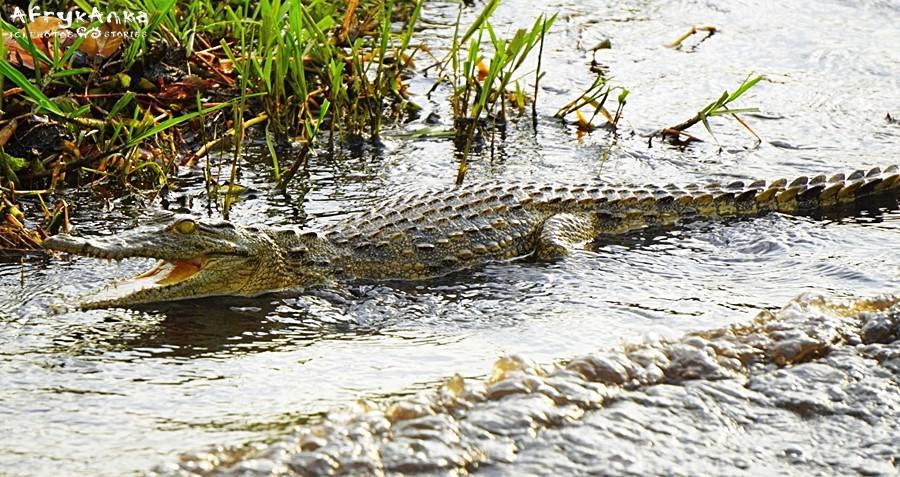 Krokodyl podczas odpływu...
