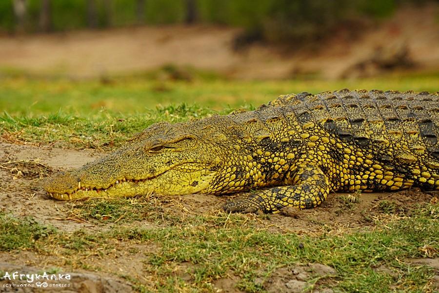 A to inny krokodyl. Może jego mama?