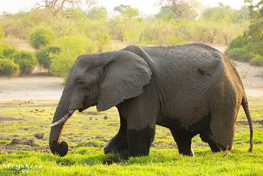 Niełatwo jest przetrwać słoniom w porze suchej.