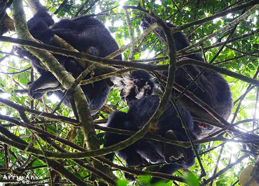 Szympansy kończą posiłek.