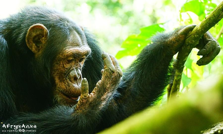 Szympans zdawał się taki... ludzki.