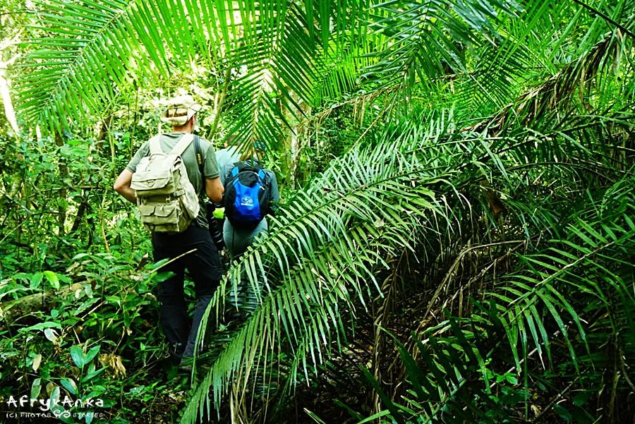 Wędrówka przez las Kibale.