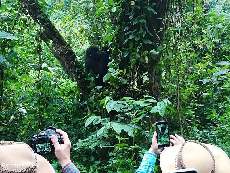 Fotografowanie goryli wciąga!