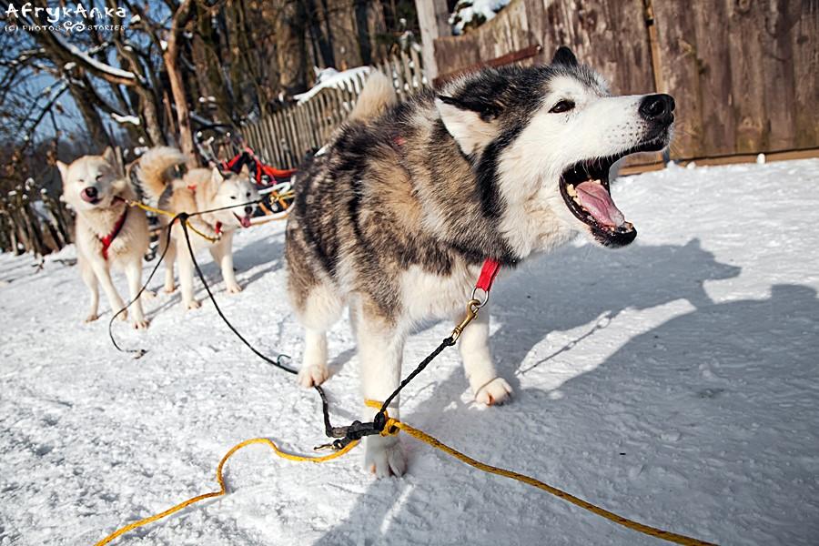 Na zaufanie psów maszer musi zasłużyć!