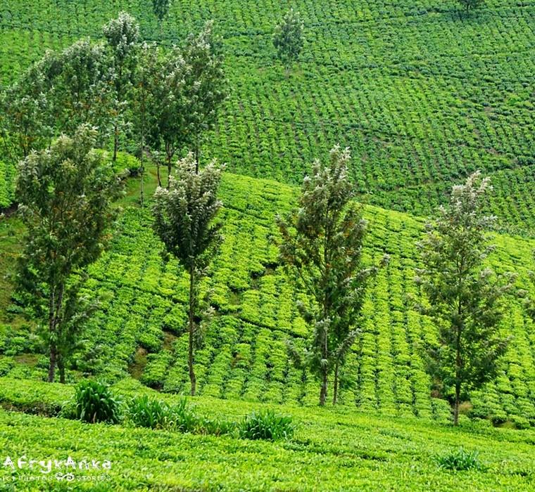 Herbaciane pola Ugandy.