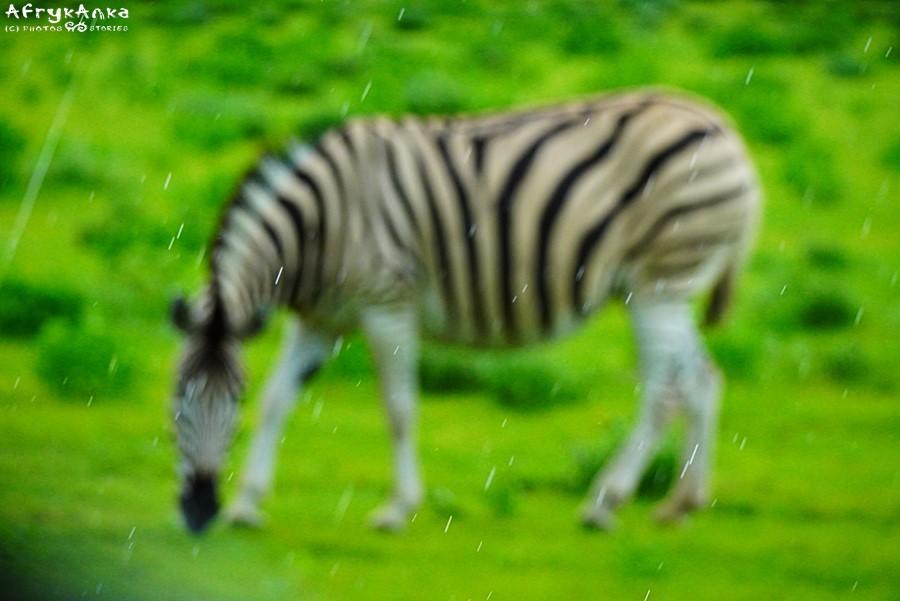 PN Etosza: zebra w deszczu: dzięki wodzie będzie dużo jedzenia!