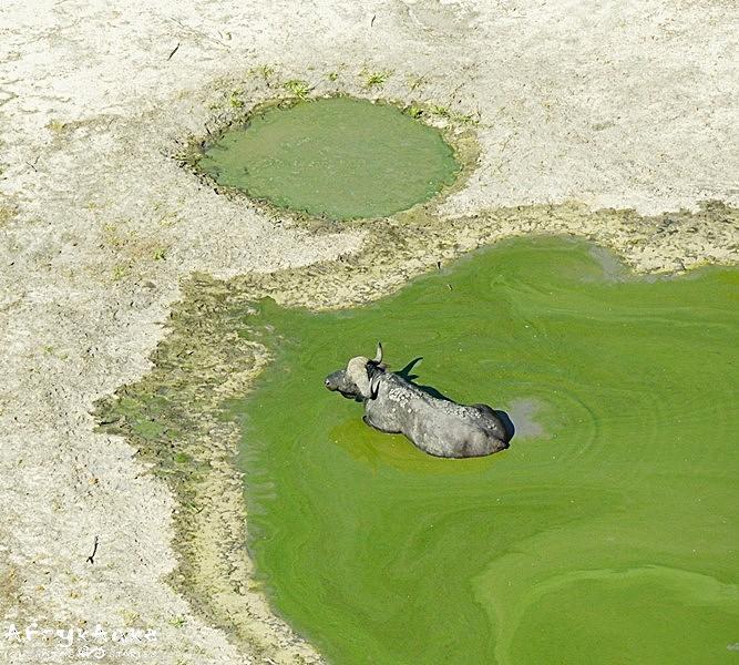 Samotny bawół w oczku wodnym.
