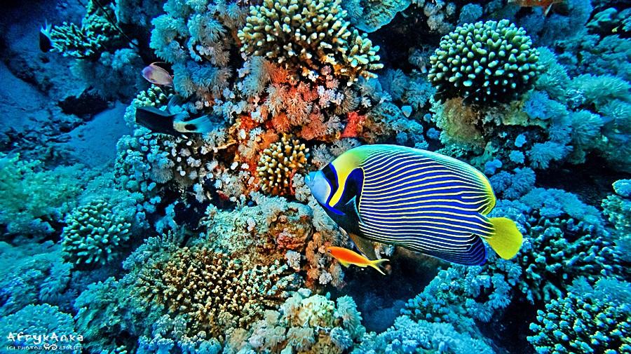 Barwna ryba papuzia.