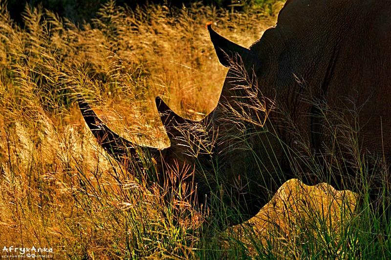 Nosorożec przy drodze.