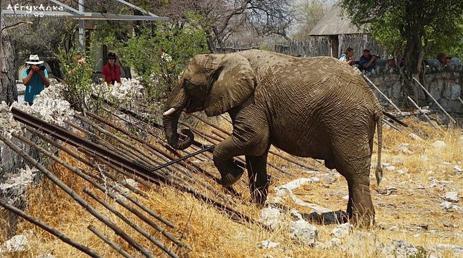 Słoń usiłuje dosięgnąć liści nad Oakukuejo.