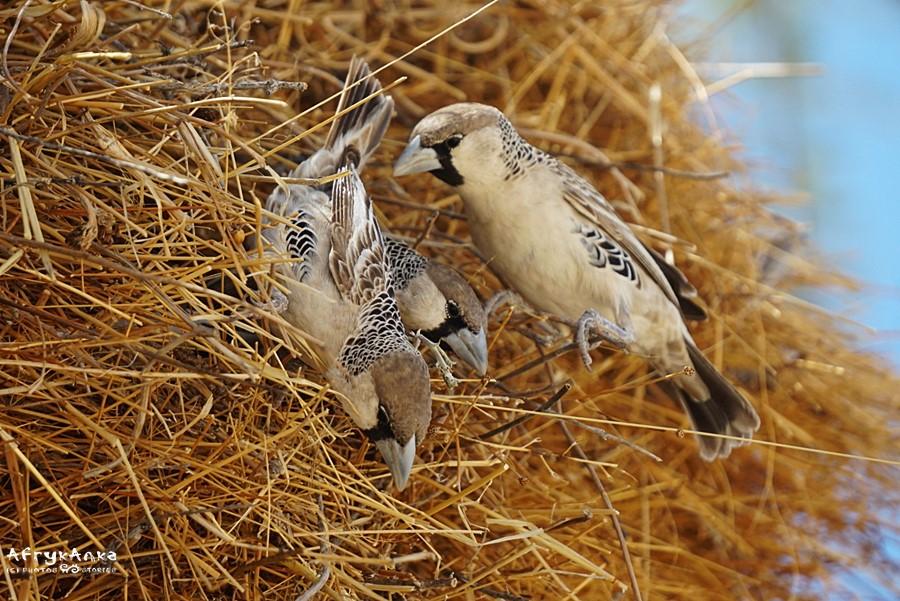 Tkacze (sociable weaver) gniazdują zawsze stadnie.