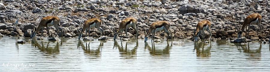 Antylopy wreszcie dotarły do wody...