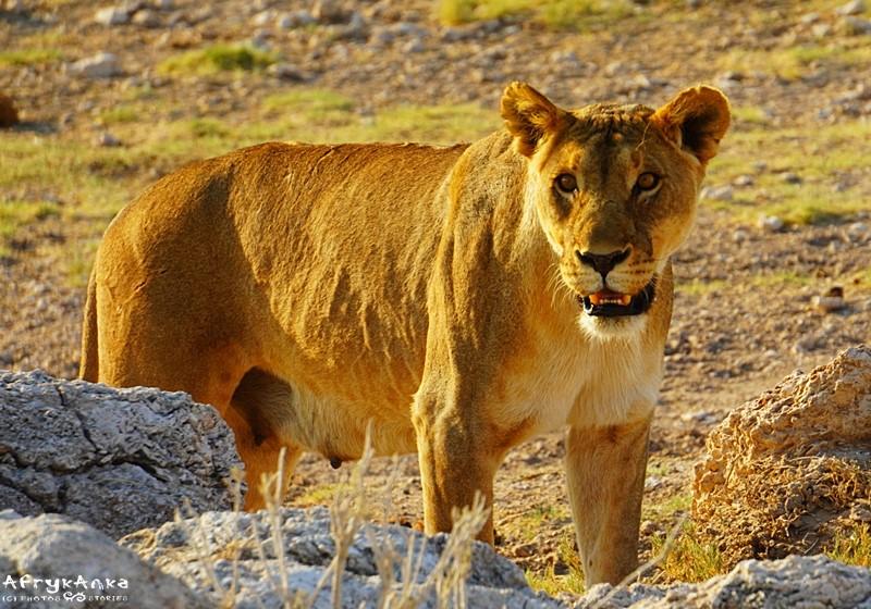 Tym razem lwica została z niczym...