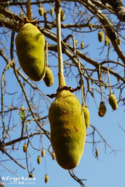 Owoce baobabu na drzewie.
