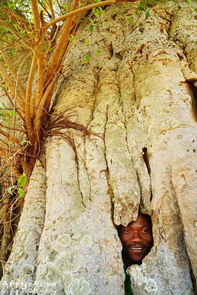 Matjas w baobabie.