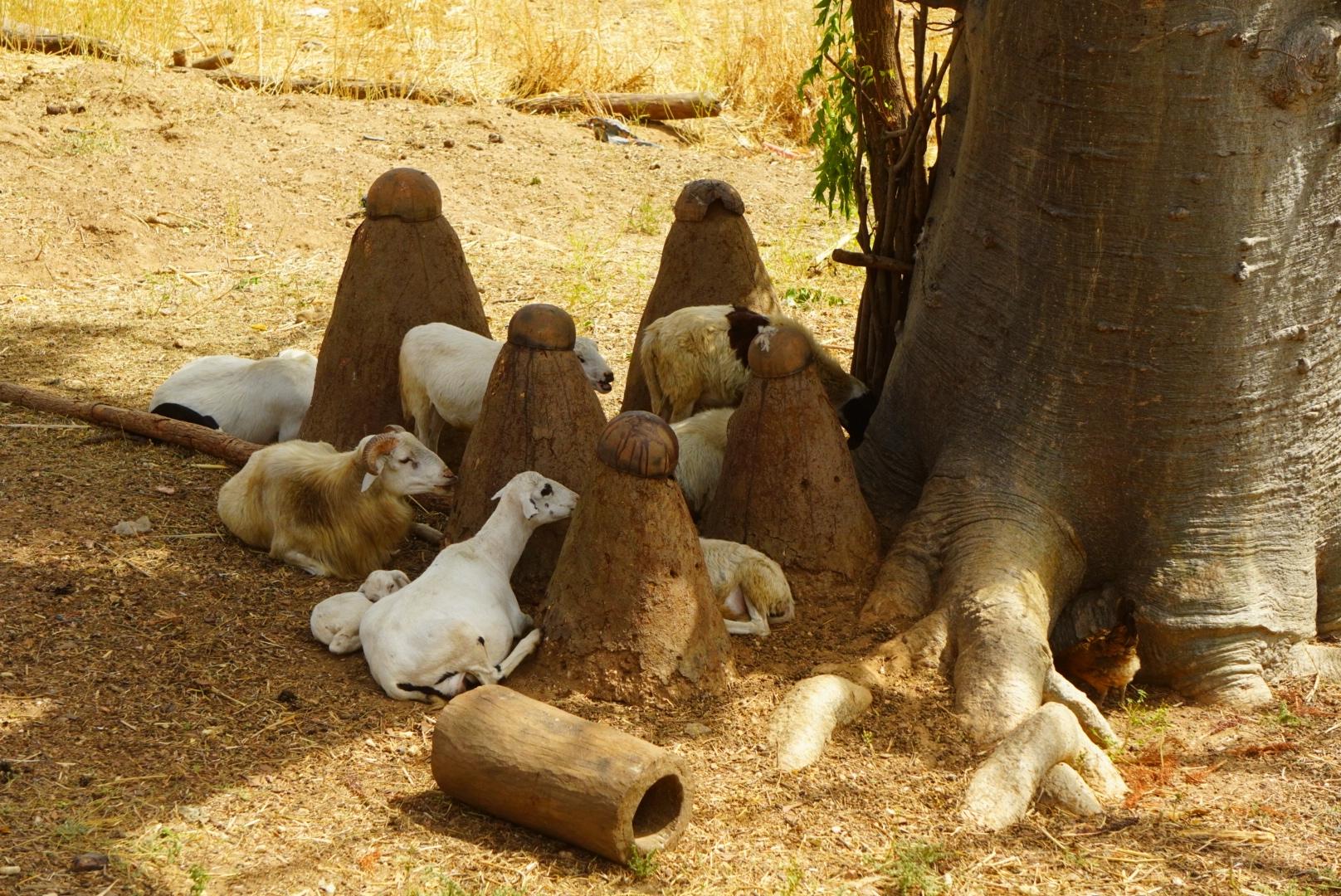 Kozy wśród fetyszy wioski.