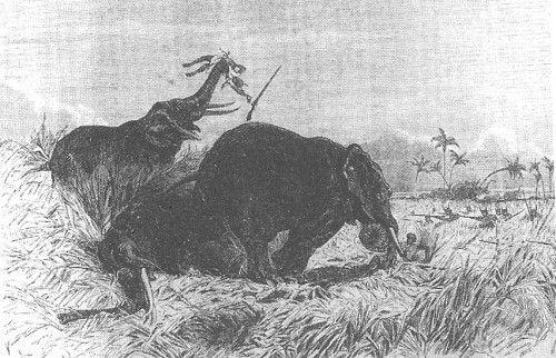 Łowczynie gbeto atakujące stado słoni (fot. domena publiczna).