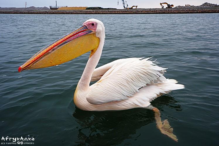 W zatoce Walvis Bay zawsze są pelikany.