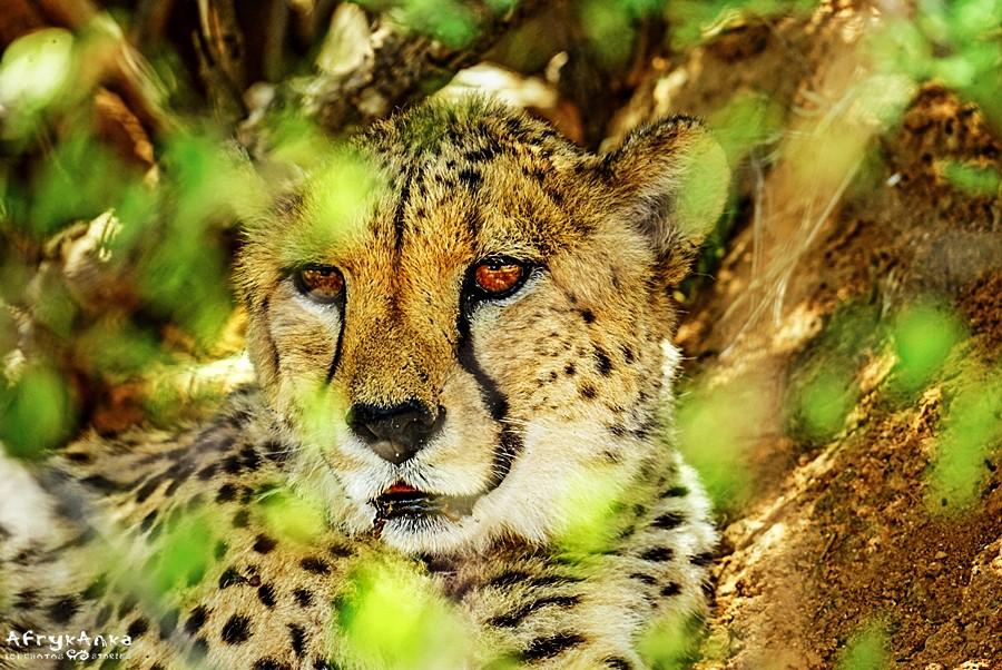 Wyjątkowy kot - gepard.