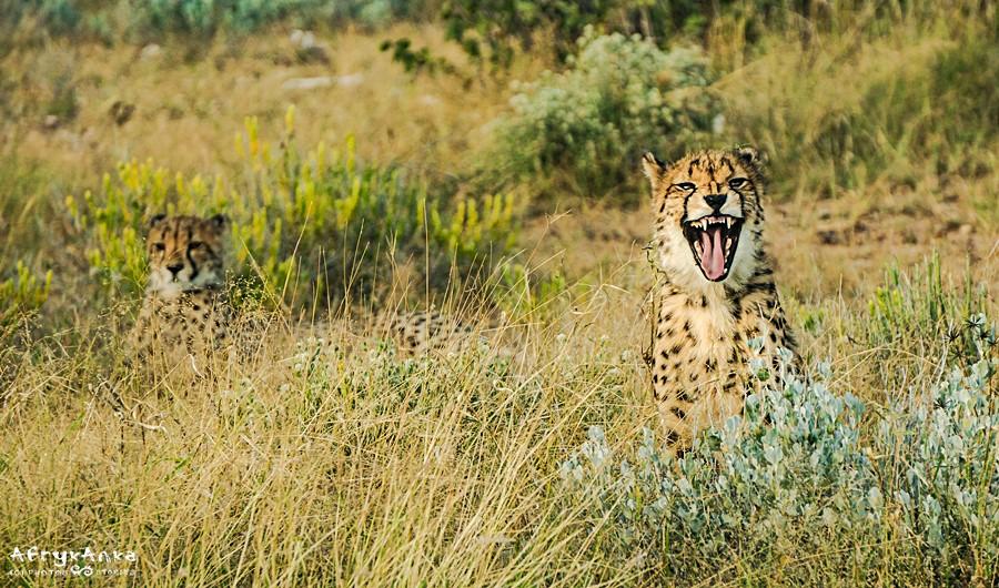 Faktycznie gepard jest jedyny w swoim rodzaju!