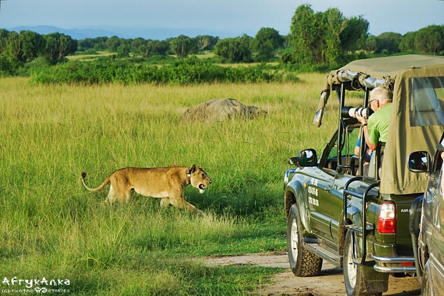 Lwica z lokalizatorem GPS.
