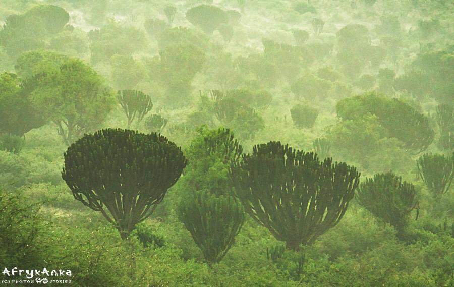 Mgły nad lasem wilczomleczy.
