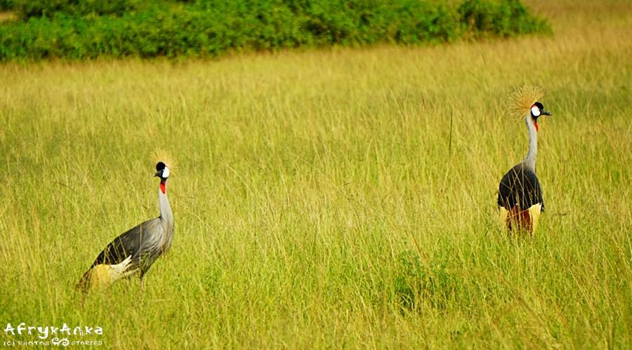 Żuraw koroniasty to narodowy ptak Ugandy.
