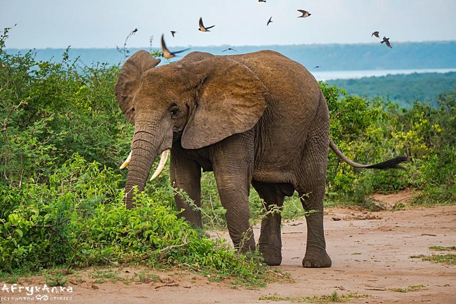 Czasem w PN Królowej Elżbiety na drogę wyjdzie słoń...