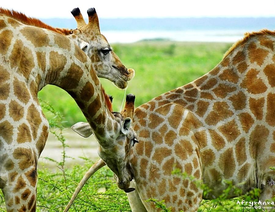 Panowie żyrafy sprawdzają, czy warto umówić się na randkę.