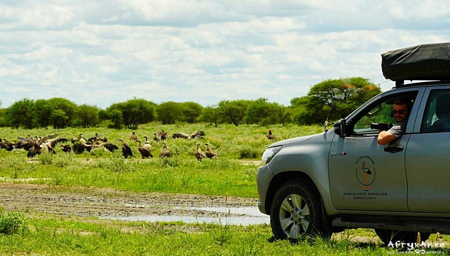 Spotkanie z sępami na safari.