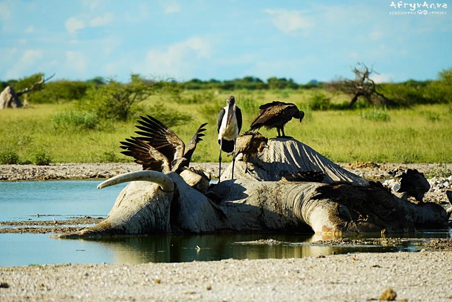 Padły słoń - jeśli sępy go szybko nie zjedzą, rozkładające się ciało zatruje oczko wodne.
