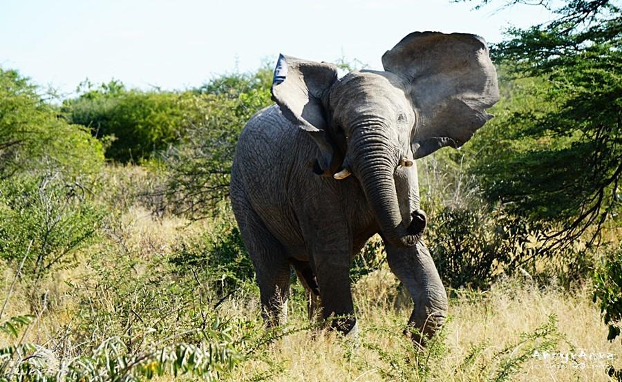 Takiemu słoniowi lepiej nie podchodź pod trąbę!