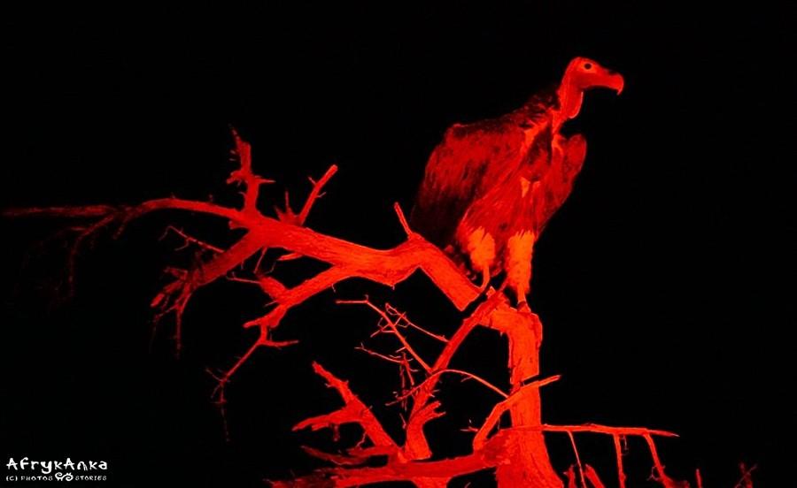Portret sępa podczas nocnego safari.