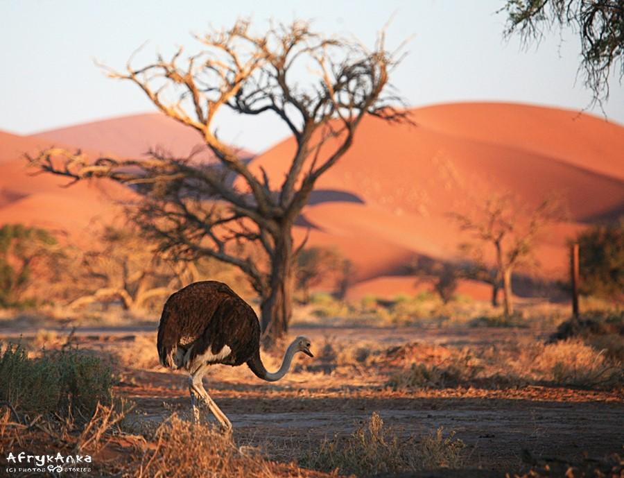 Struś na pustyni Namib.
