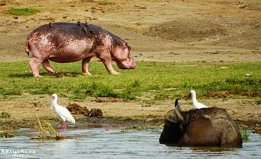 Hipopotam albinos i jego świta.