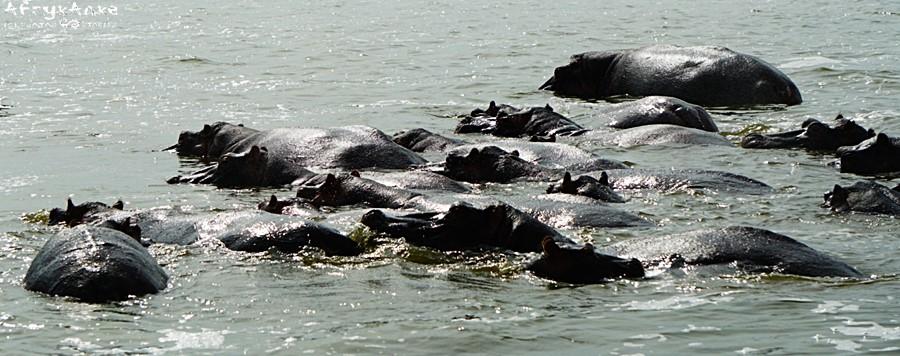 Archipelag hipopotamów.
