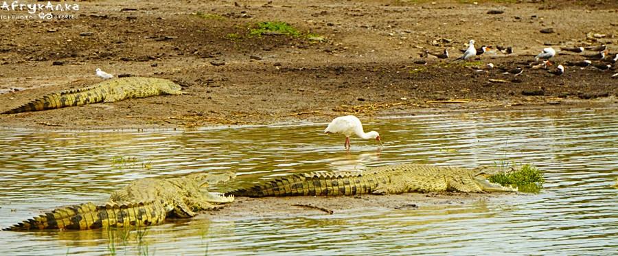 Dławigad między krokodylami.