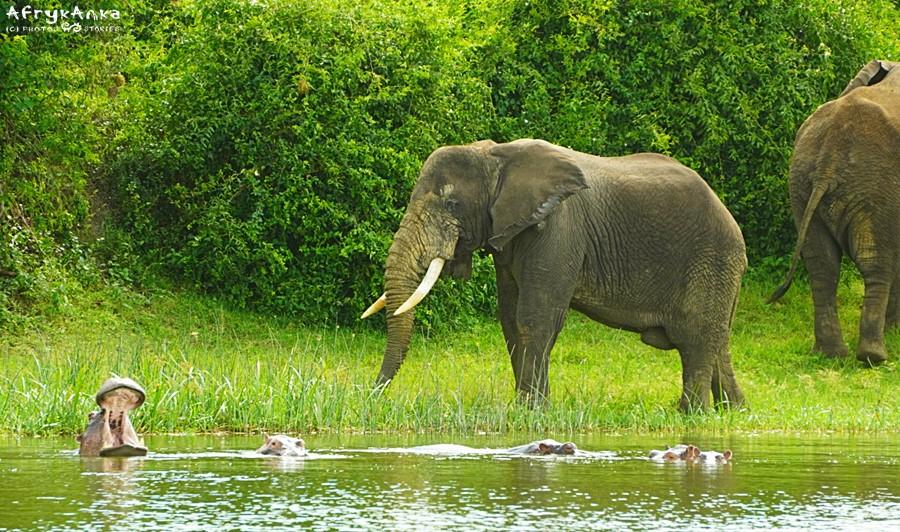 Hipopotamy muszą ustąpić miejsca słoniom.