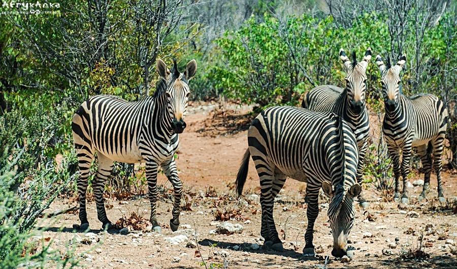 Zebra górska - podgatunek zebra namibska